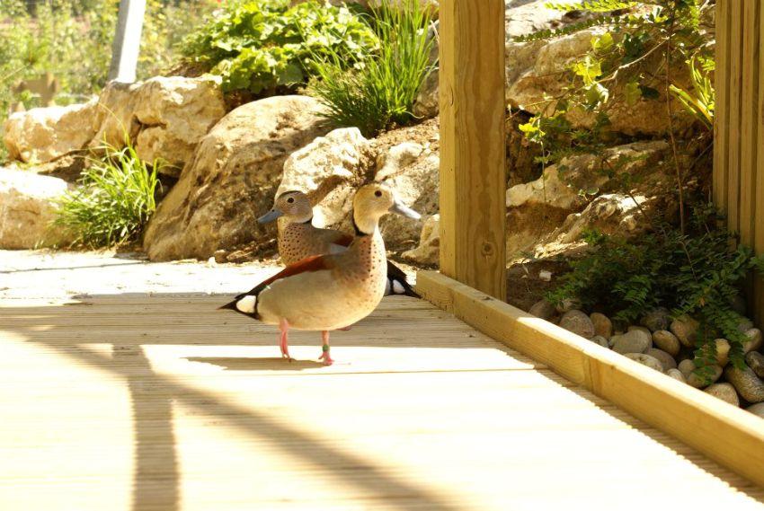 Canards en liberté