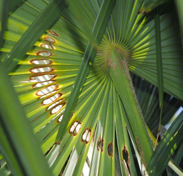 Dégâts causés par papillon du palmier