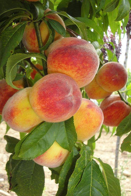 Les fruitiers des Pépinières Chatelain