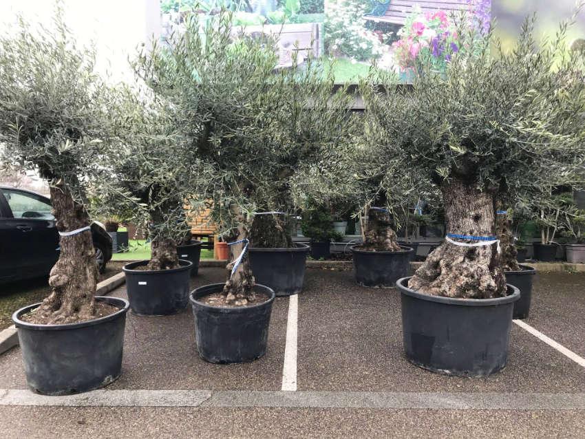 Les gros sujets d'oliviers