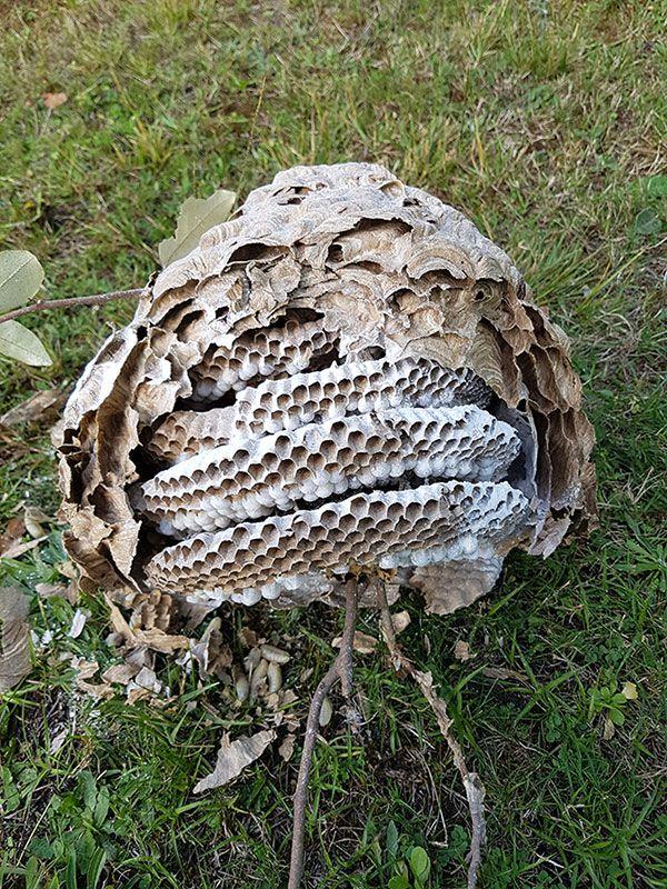 Enlévement de nid de frelons par Gironde nuisibles