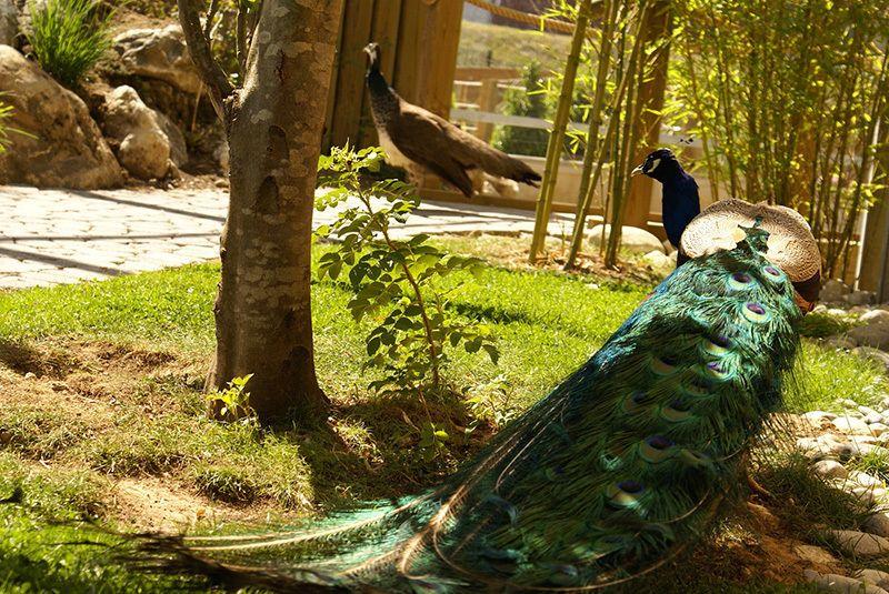 Les paons de la Jardinerie Plaisirs Verts