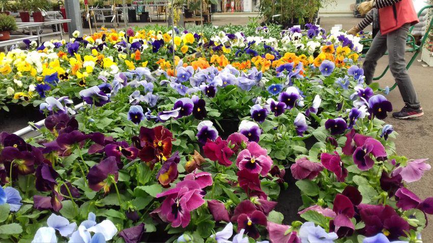 Les pensées à la jardinerie Loisiflor