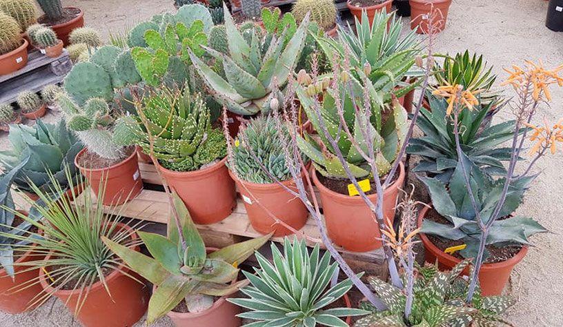 Les cactées et succulentes