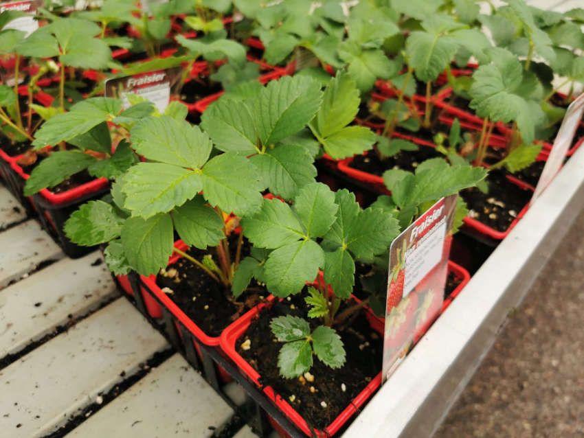 Les plants de fraisier