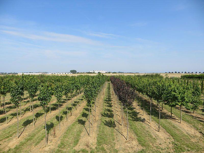 La production d'arbres des Pépinières Chatelain