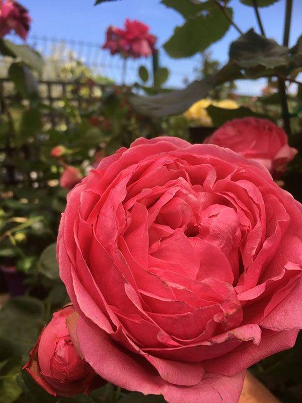 Rose des Pépinières du Cap Vert