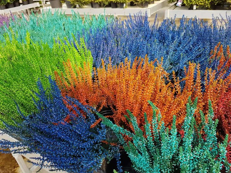 Les bruyères et leurs belles couleurs