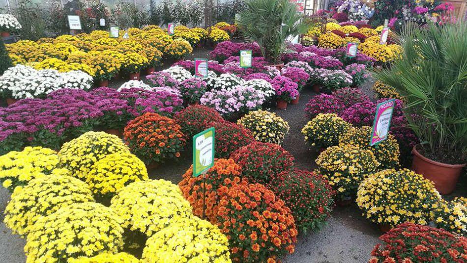 Les chrysanthèmes du Jardin des Saules