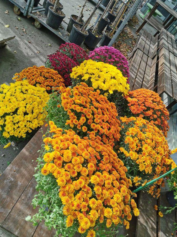 Les chrysanthèmes de Lecerre Fleurs