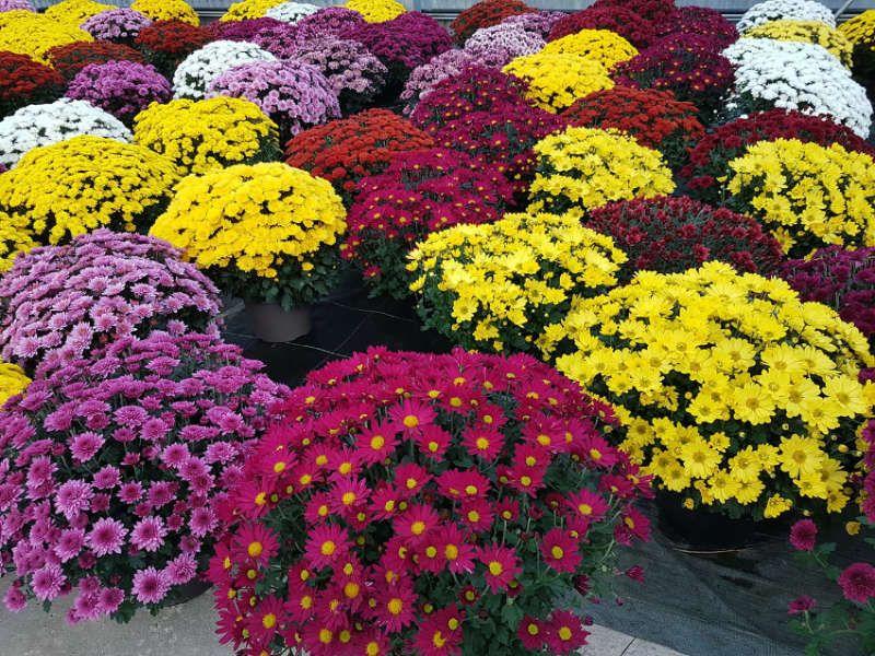 Les chrysanthèmes, rois de l'automne !