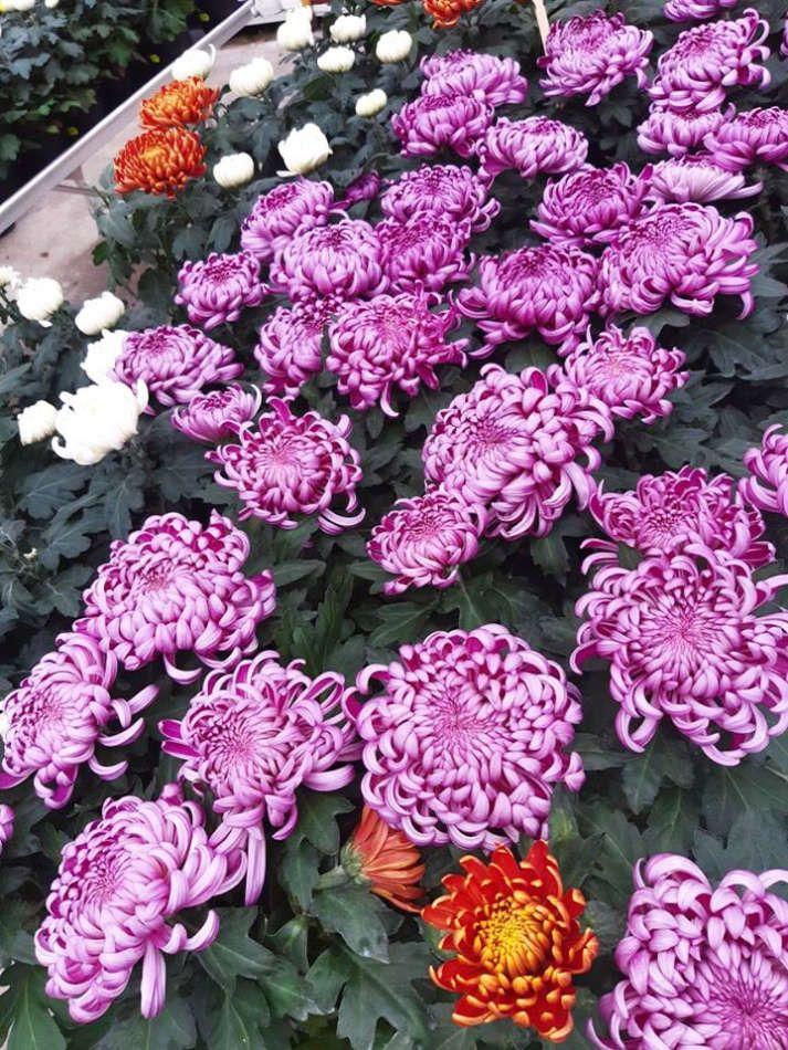 Les plantes fleuries de la Potagère