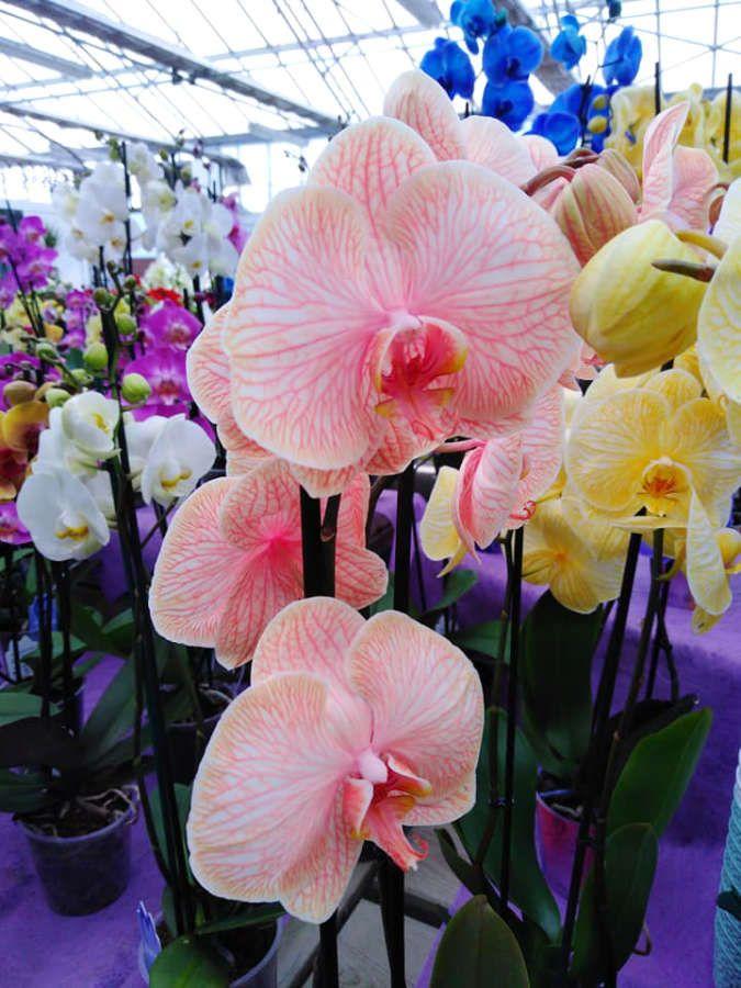 Les orchidées de la Jardinerie Dekester