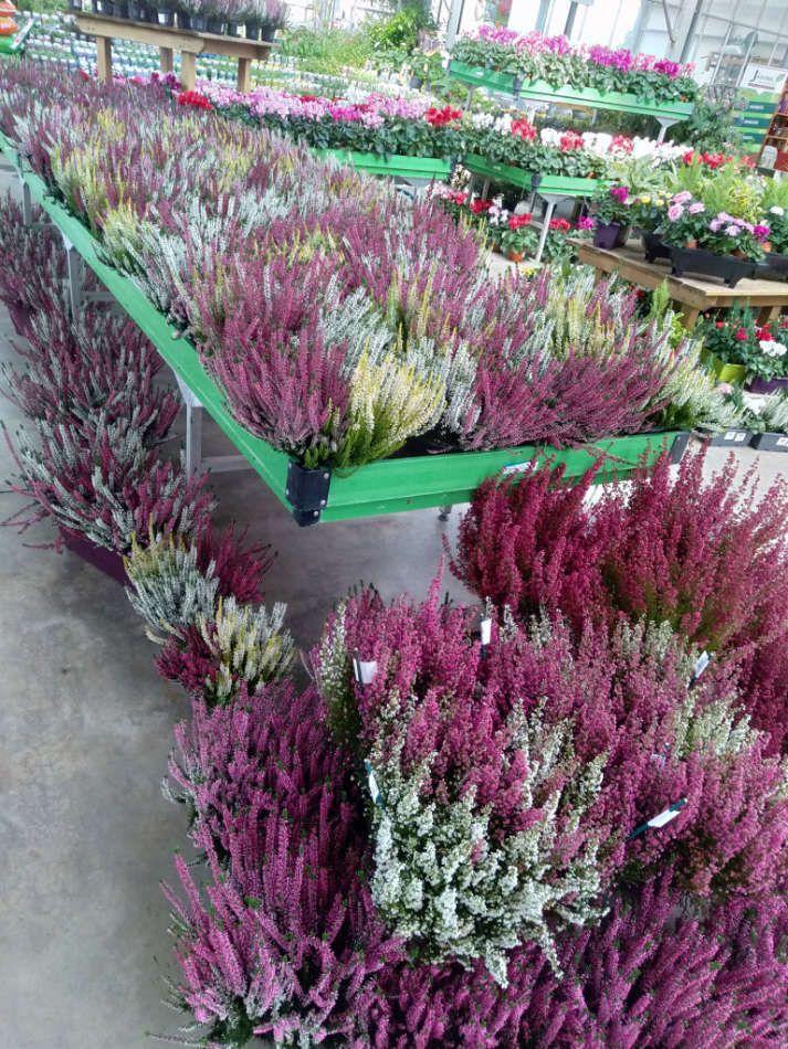 Plantes de bruyère