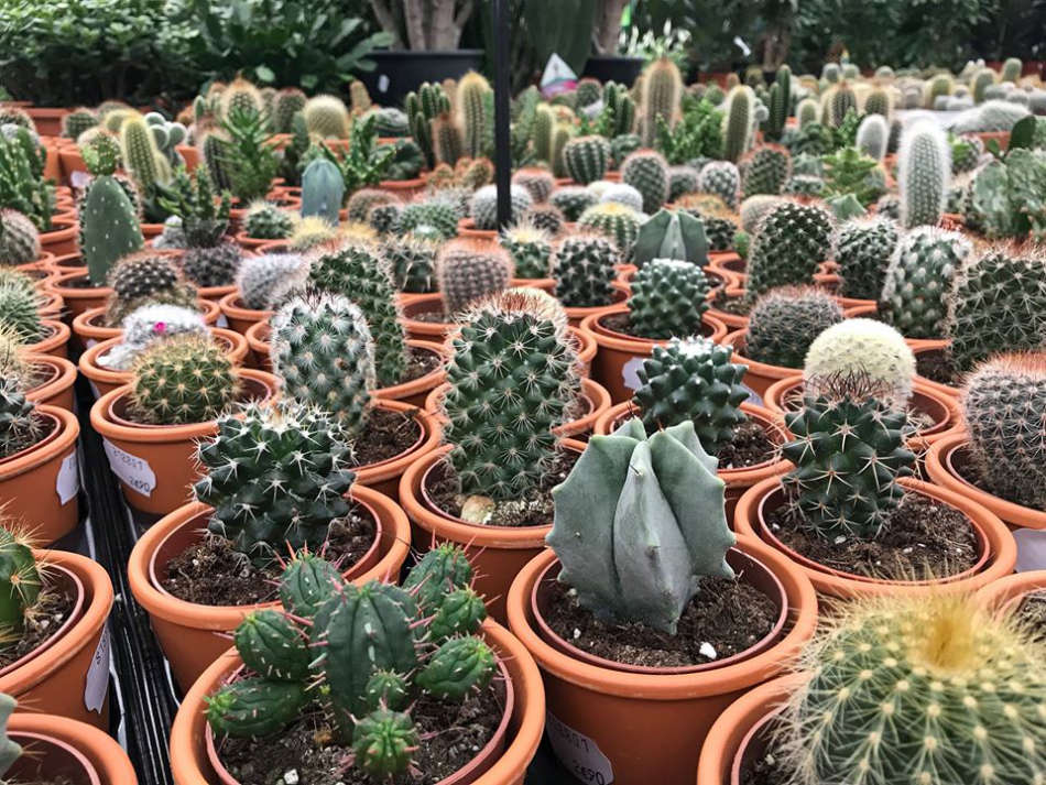 Plantes grasses et cactées