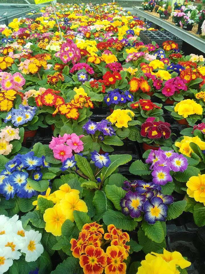 Les plantes à massif de la Jardinerie Dekester