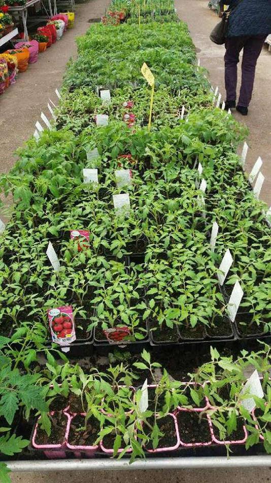 Les plants de légumes de la Potagère