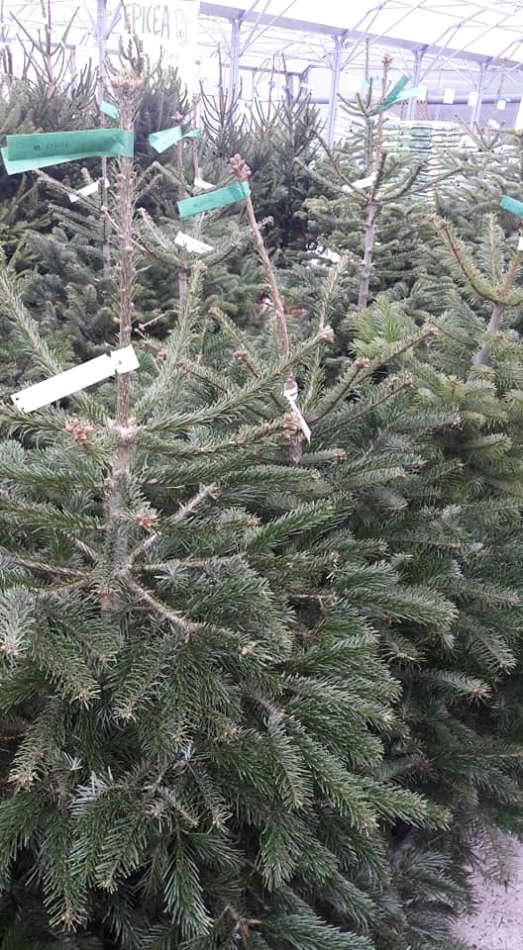 Les sapins de Noël de la Potagère