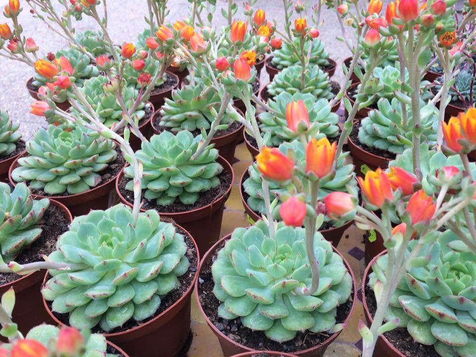 Les cactus des Serres de Saint André