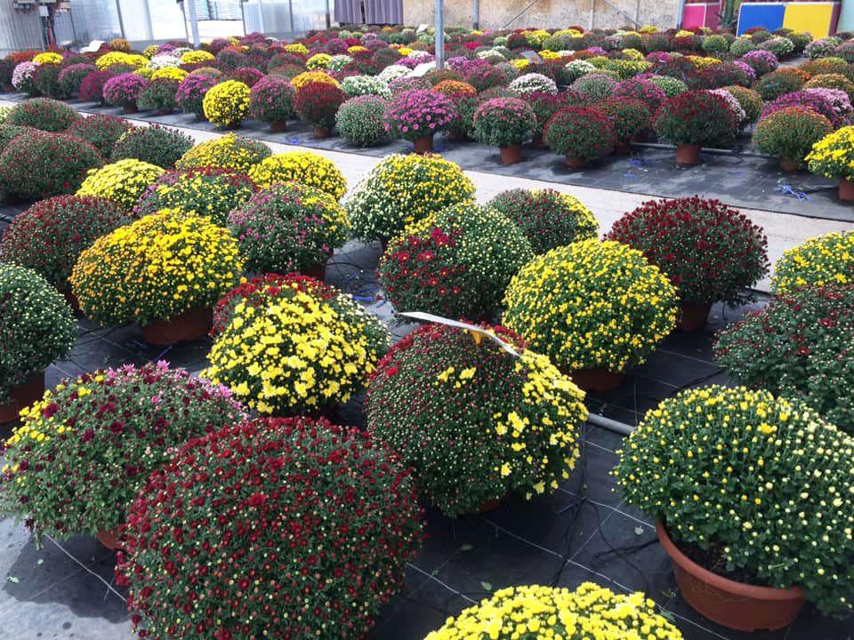 La production de chrysanthèmes