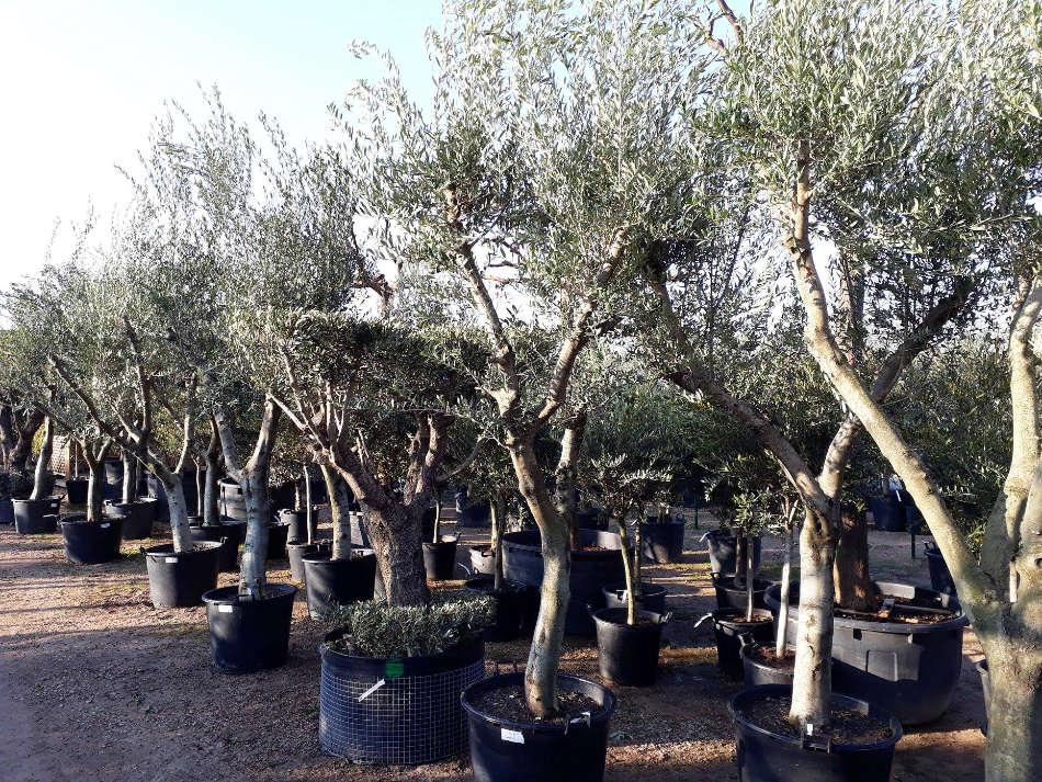 Les oliviers de la Pépinière Terra Verde