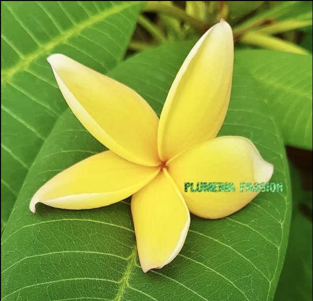 Plumeria Canari