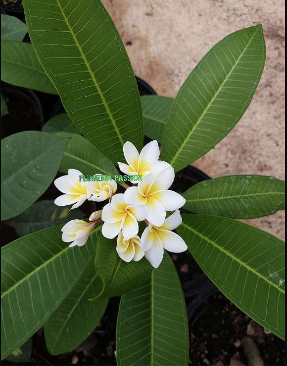 Plumeria Honolulu