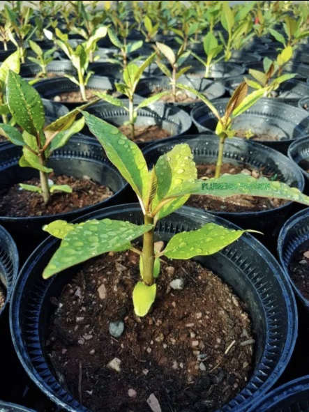 Plants de frangipaniers