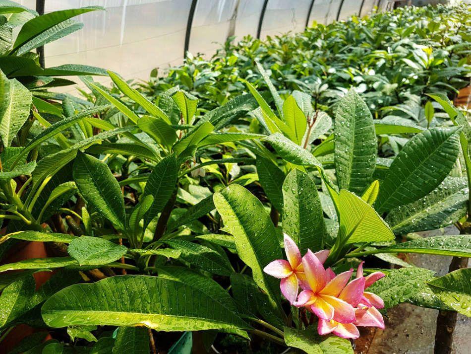 La production de frangipaniers de Plumeria Passion