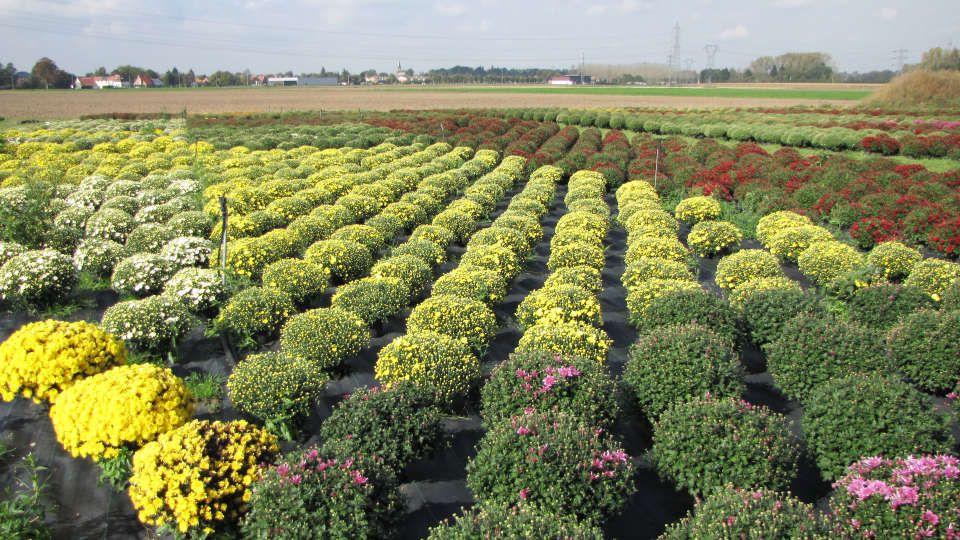 Culture des chrysanthèmes