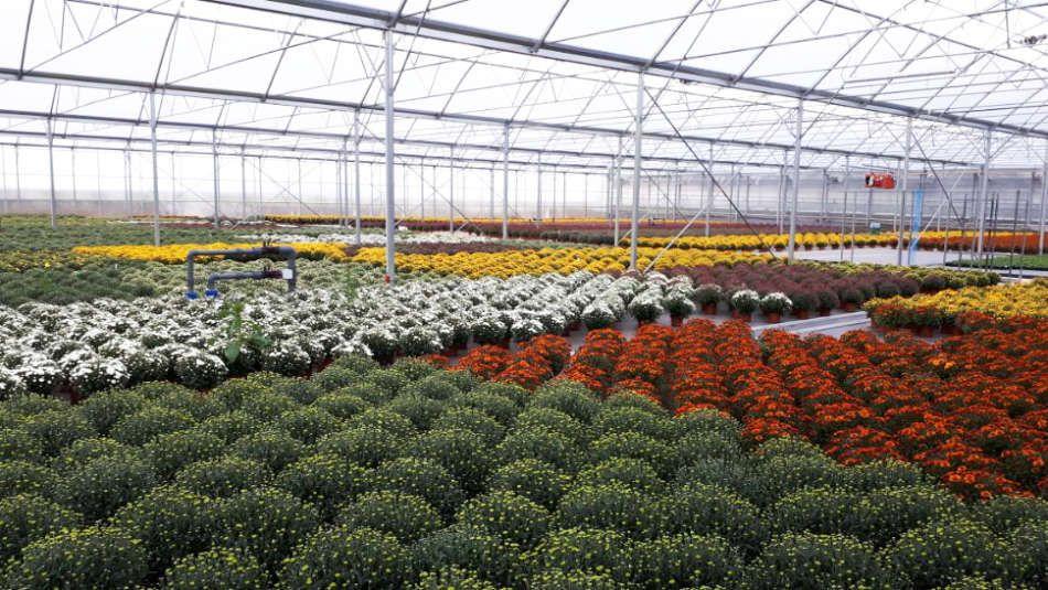 Production de chrysanthèmes aux établissements Flutre