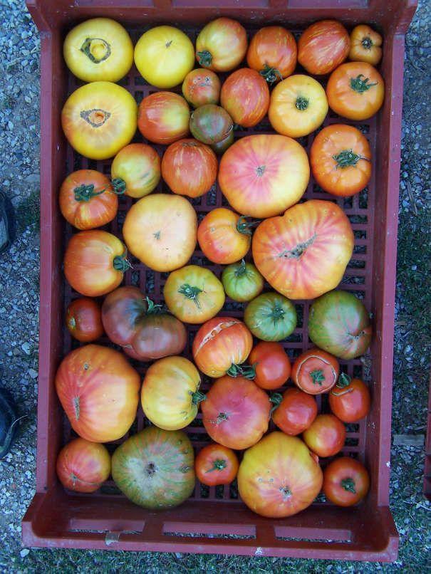 Les tomates des Jardins d'Isana
