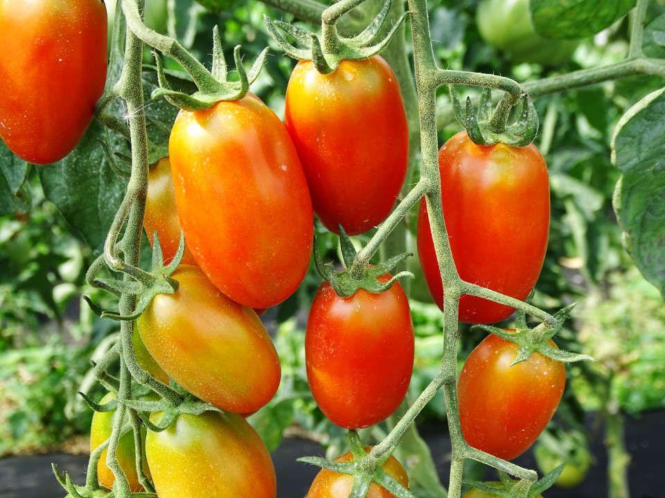Les tomates du Jardin de Zélie