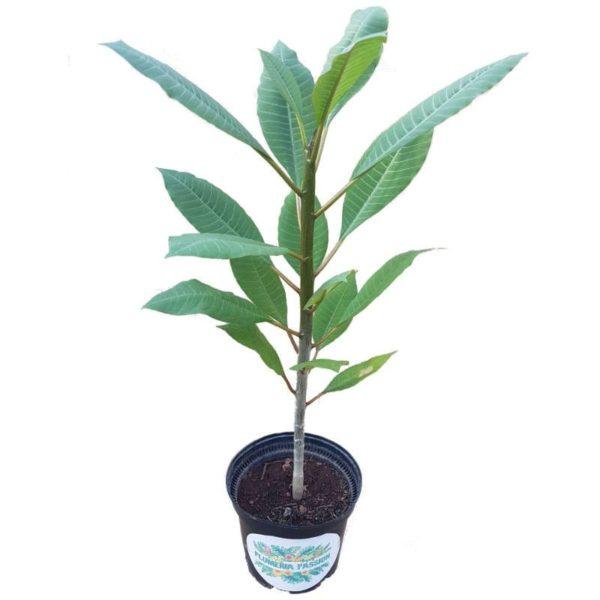 Plant de frangipanier