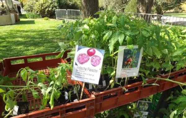 Plants de tomate des Jardins d'Isana