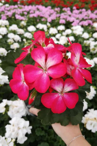 Portes Ouvertes de Fleurs Ernst