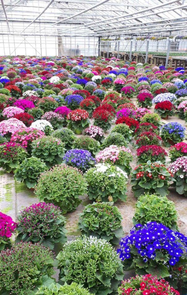 Production de plantes fleuries aux établissements Flutre
