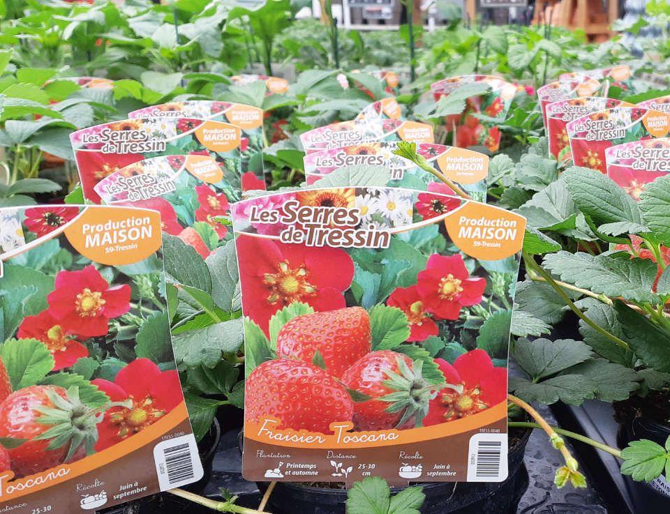 La production des fraisiers