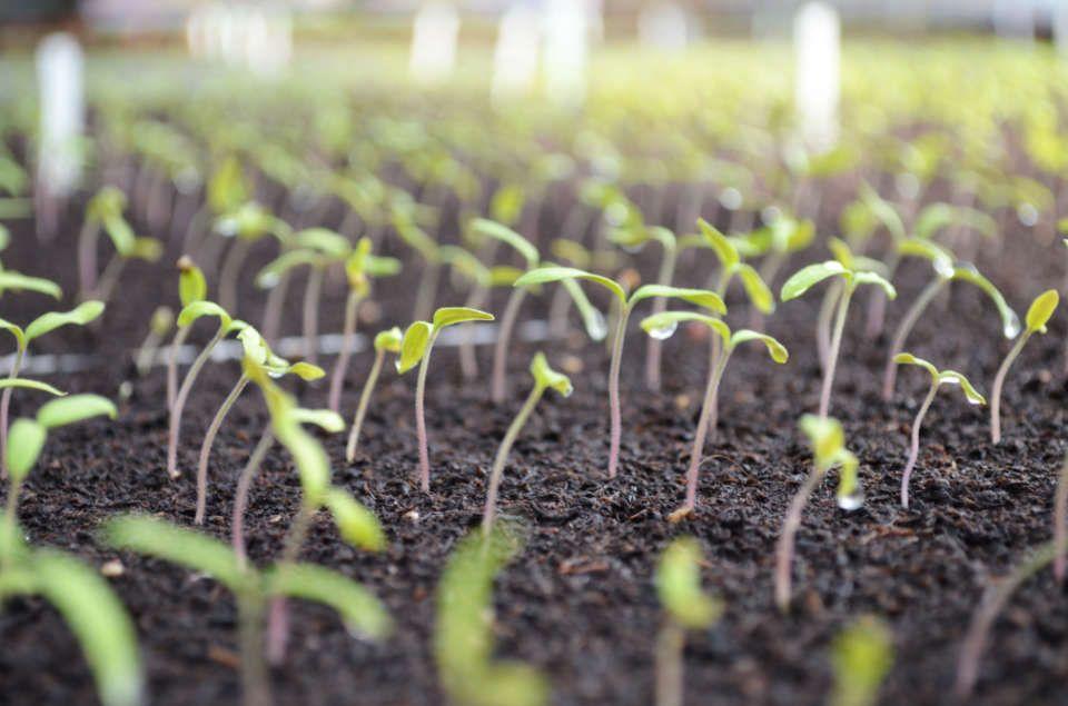 Production des plants aux Serres Fleuries