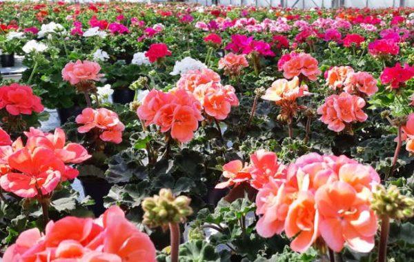 Chrysanthèmes des Serres de Tressin