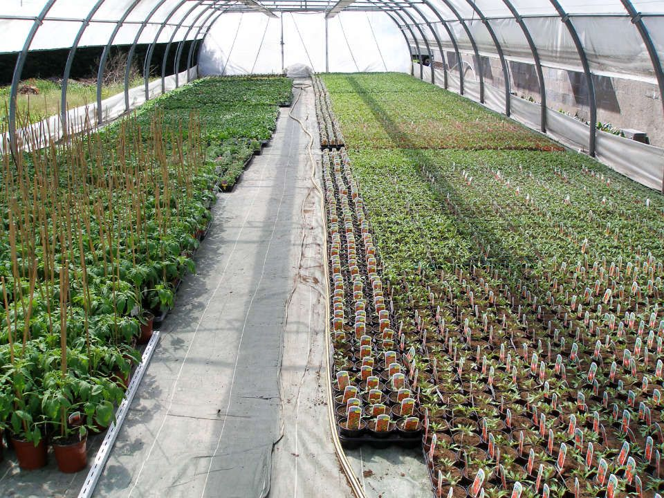 Tunnel de production des tomates