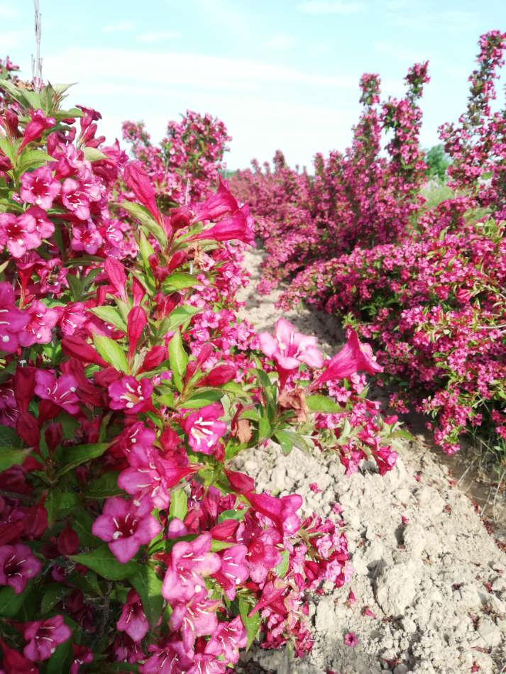 Les arbustes d'ornement