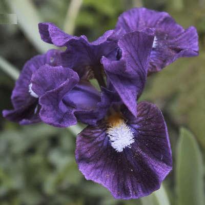 Iris inventor