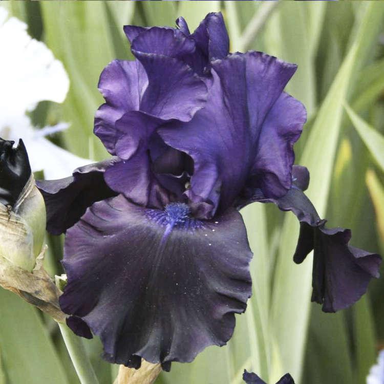 Iris Black butte