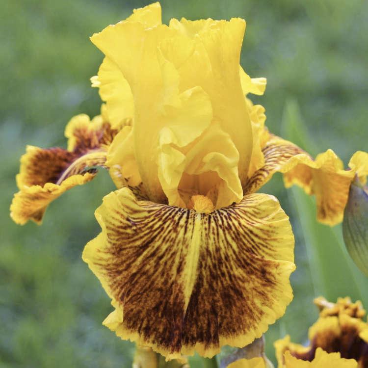 Pack grands iris