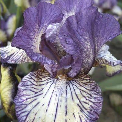 Iris Gnu Rayz