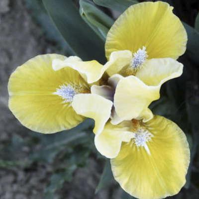 Iris Joyful