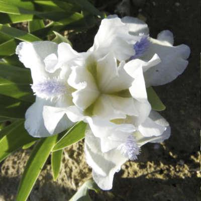 Iris du pack iris nains