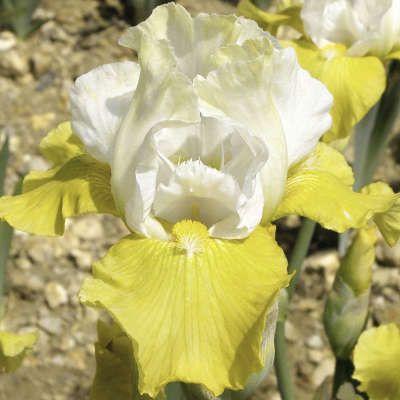 Iris Tact