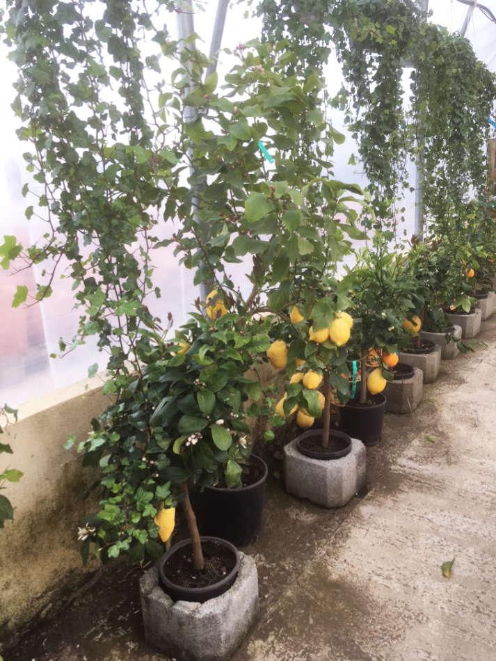 Les agrumes de la pépinière Melquior